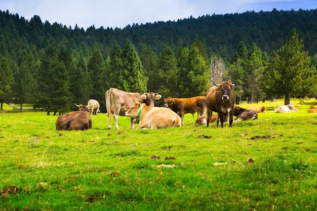 牧草地には何匹もない牛