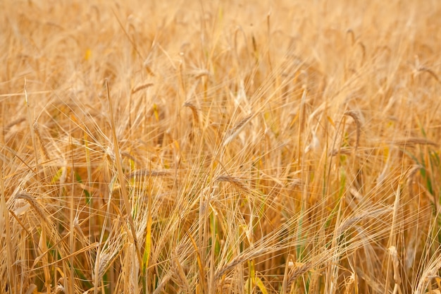 ライ麦の耳の背景