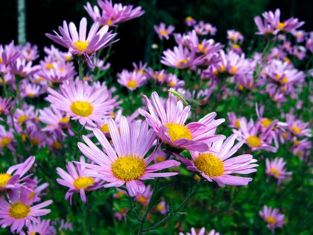 昆虫とフィールド上のライラックの花