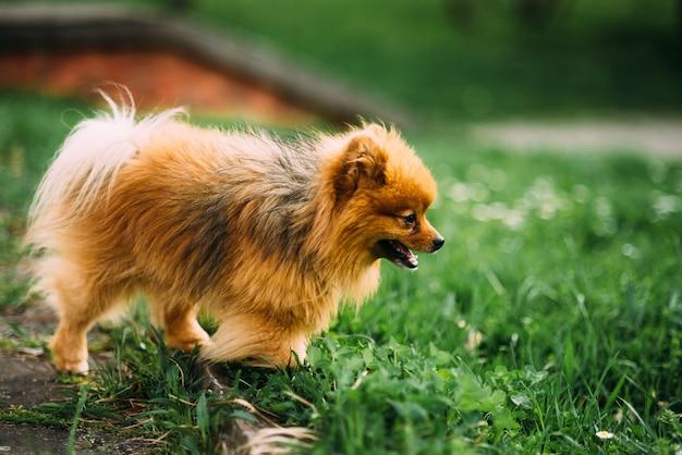 Маленький смешной пес красно-коричневый на траве