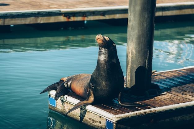 アシカはサンフランシスコの木製の橋に座っています。