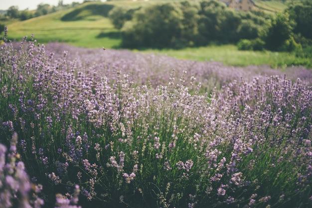 Лавандовое поле цветет летом