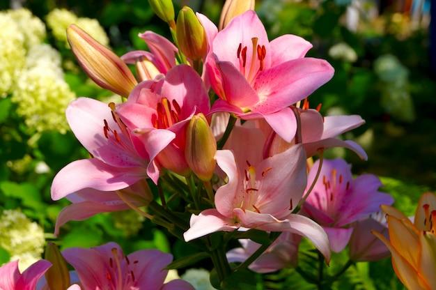 Цветок лилии в саду - летняя сцена