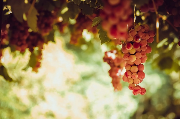 太陽の光の中でブドウからぶら下がっている赤いブドウの束
