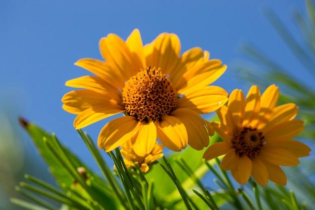 Ярко-желтые полевые цветы на фоне голубого неба