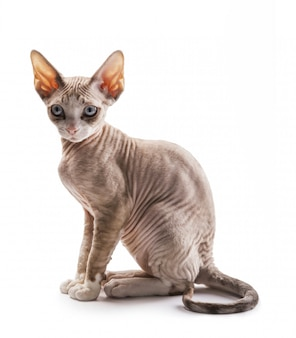 子猫デボンレックス