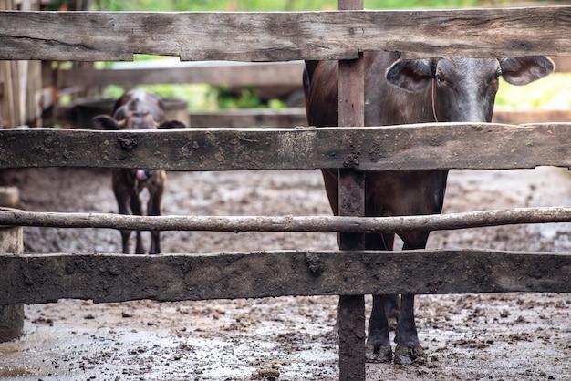 和牛は産業農場で育てられた