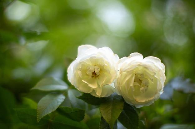 フロントクローズアップビュー緑の茂みと一緒に白いバラ