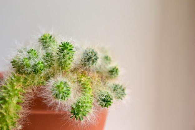 植木鉢にふわふわのサボテン。白色の背景。家の中の植物。