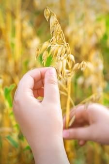 Детская рука держит колосья овса