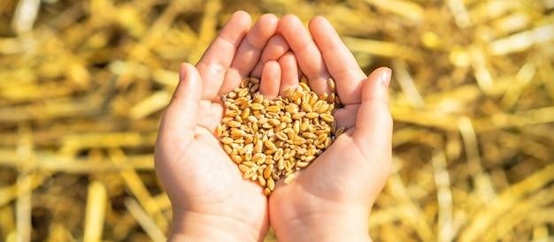 手のひらで小麦の粒