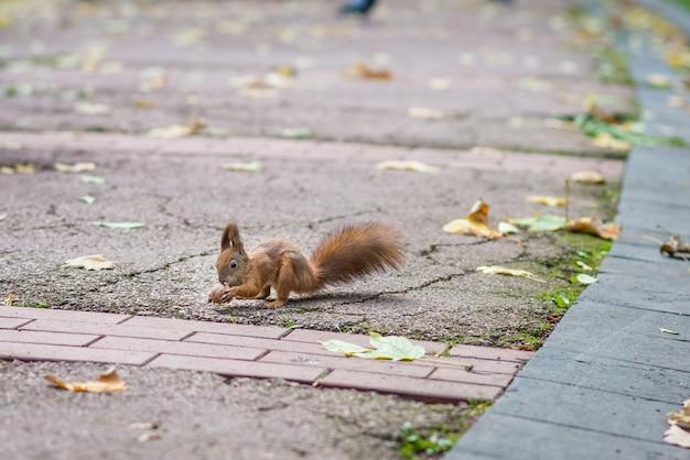 Красная белка держит орех