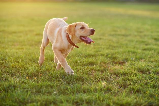 Красивый щенок лабрадора, играя на лужайке на закате или восходе солнца