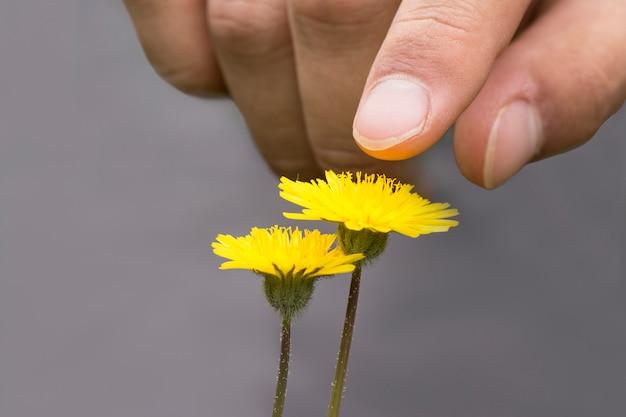 Мужская рука, касающаяся или указывающая цветы одуванчика