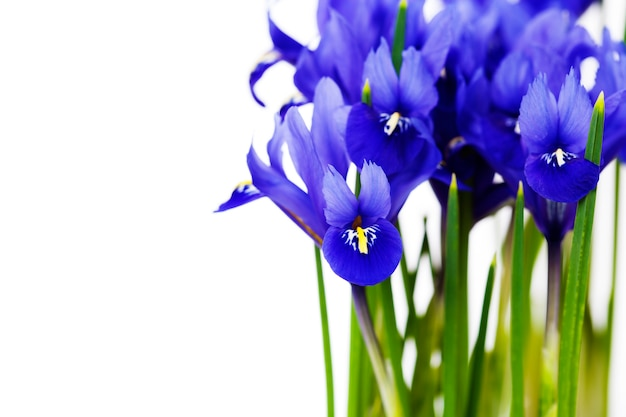 濃い紫色のアイリスの花