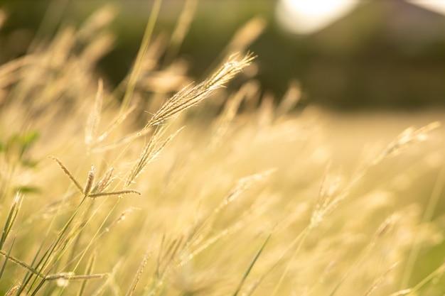Мягкое поле фокуса травы желтеет во время захода солнца.