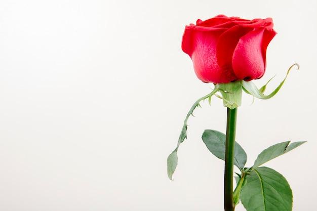 Вид сбоку розы красного цвета на белом фоне с копией пространства