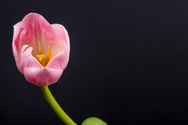 コピースペースと黒いテーブルに分離されたピンク色のチューリップの花の側面図