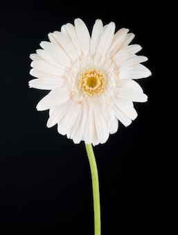 黒の背景に分離された白い色のガーベラの花の側面図