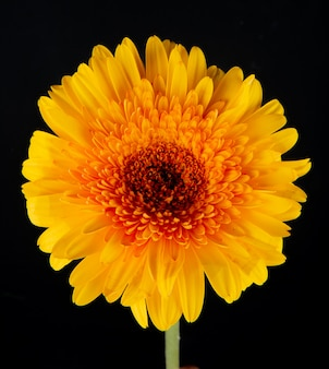黒の背景に分離された黄色のガーベラの花の側面図