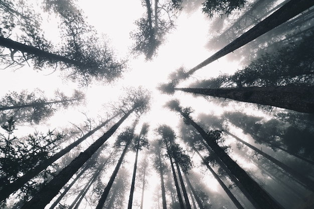 Туманный лес зимой с деревьями