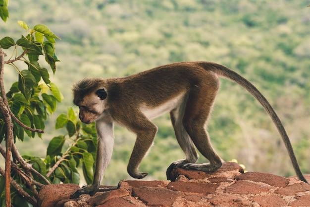 バリ島の岩の猿