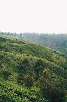 Утренний свет на чайной плантации в шри-ланке