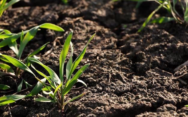 フィールドでの若い小麦の収穫。フィールド上の緑の芝生。