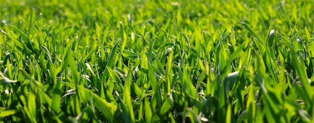 フィールドで春の太陽の光の下で新鮮な緑の芝生。若い小麦の収穫。
