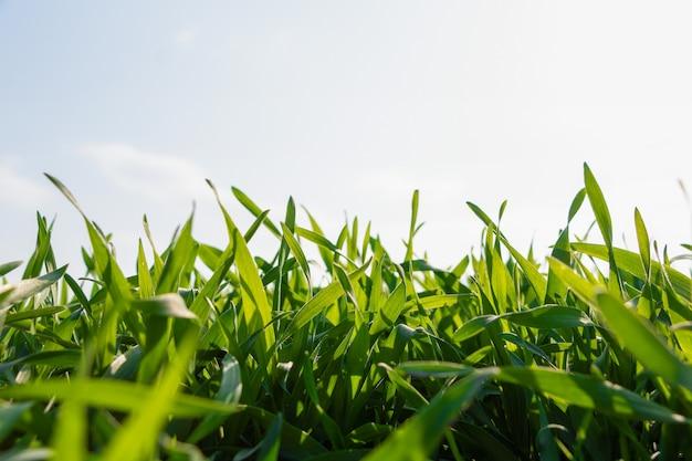 空に対してフィールドで新鮮な若い冬小麦。春の太陽の下で緑の草。
