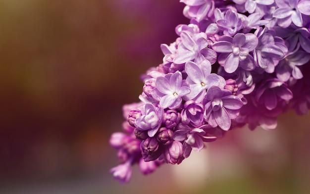 ライラックの枝。枝にライラックの花。
