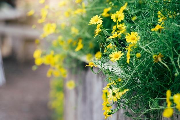 Желтая маргаритка цветет предпосылка с винтажным влиянием тона.