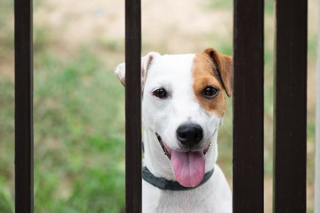金属フェンスの後ろにジャックラッセル犬