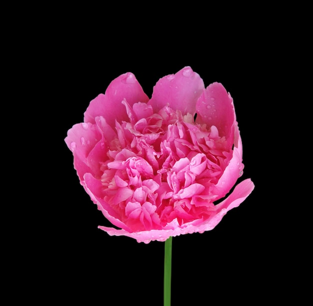黒の背景に分離されたピンクの牡丹