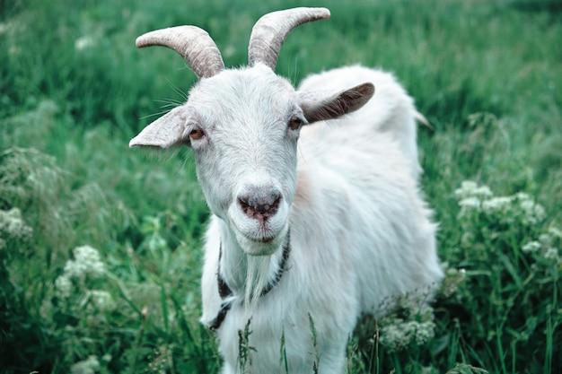 緑の牧草地に放牧白ヤギの肖像画