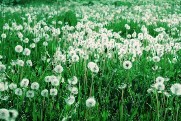 Зелёный луг с белыми одуванчиками