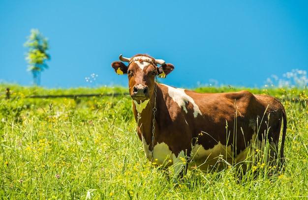 Корова и луг