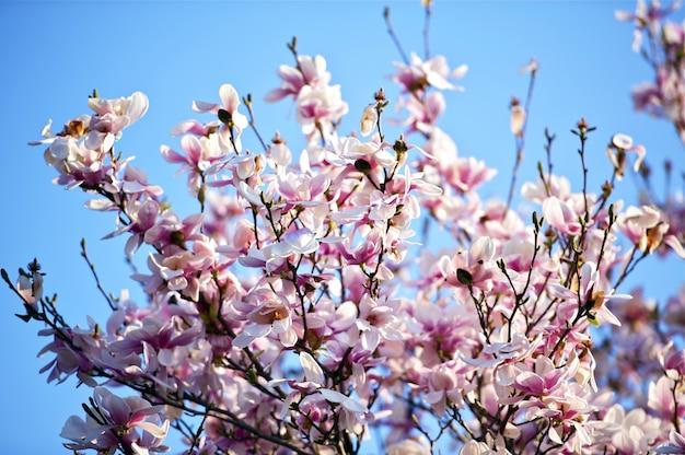マグノリアの花の木
