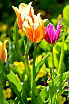 カラフルなチューリップの花