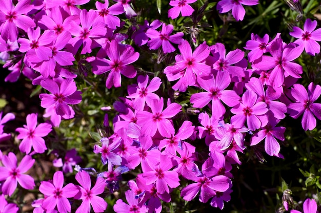 Розовые весенние цветы