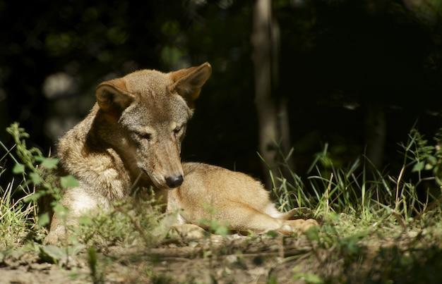 Волк на солнце