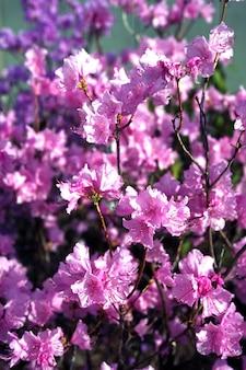 Розовый цветущий завод
