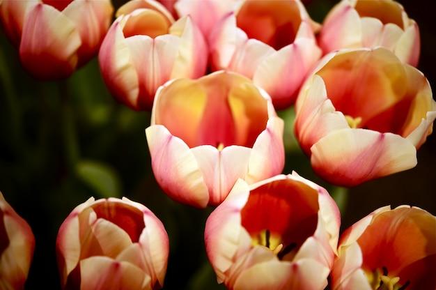 Тюльпаны русская принцесса