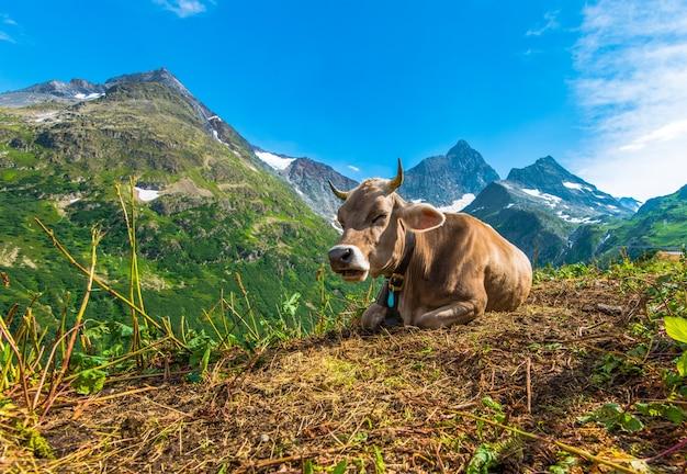 Корова альпийского региона