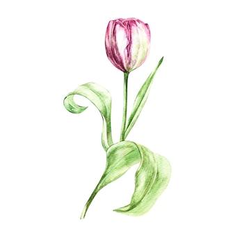 Иллюстрация в стиле акварели цветка тюльпана