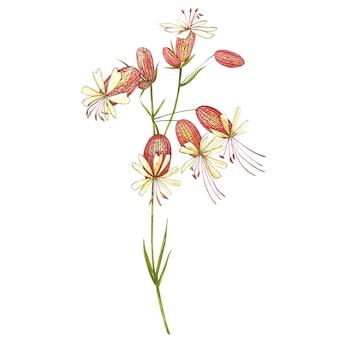 膀胱カンピオンの花。ヤグルマギク、花の要素、手描きの植物図を描く水彩セット。