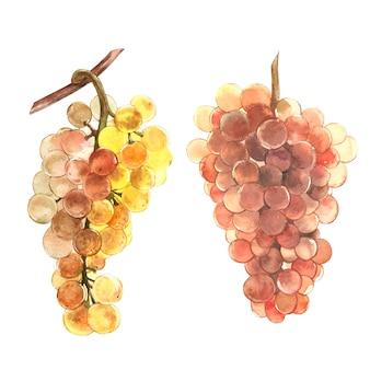 ブドウの熟した果実。手描き水彩画イラスト。