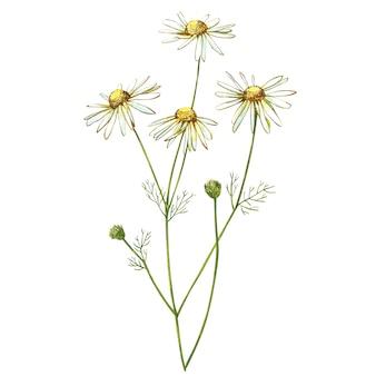 カモミールまたはデイジーの花束、白い花。現実的な植物のスケッチ