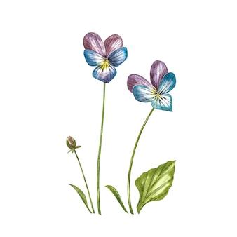 Цветок анютины глазки или ромашки. акварельные ботанические иллюстрации.