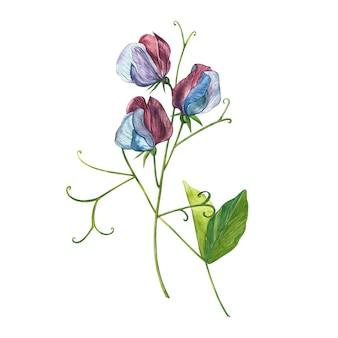 スイートピーの花と葉の水彩セット、手描きの花のイラスト分離コレクションガーデンと野生のハーブ、花、枝。ボタニカルアート。